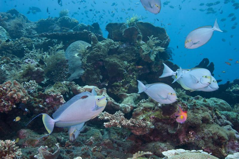 Surgeonfish_Unicornfish.jpg