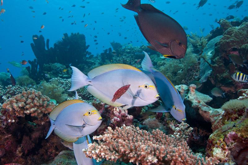 Surgeonfish_2.jpg