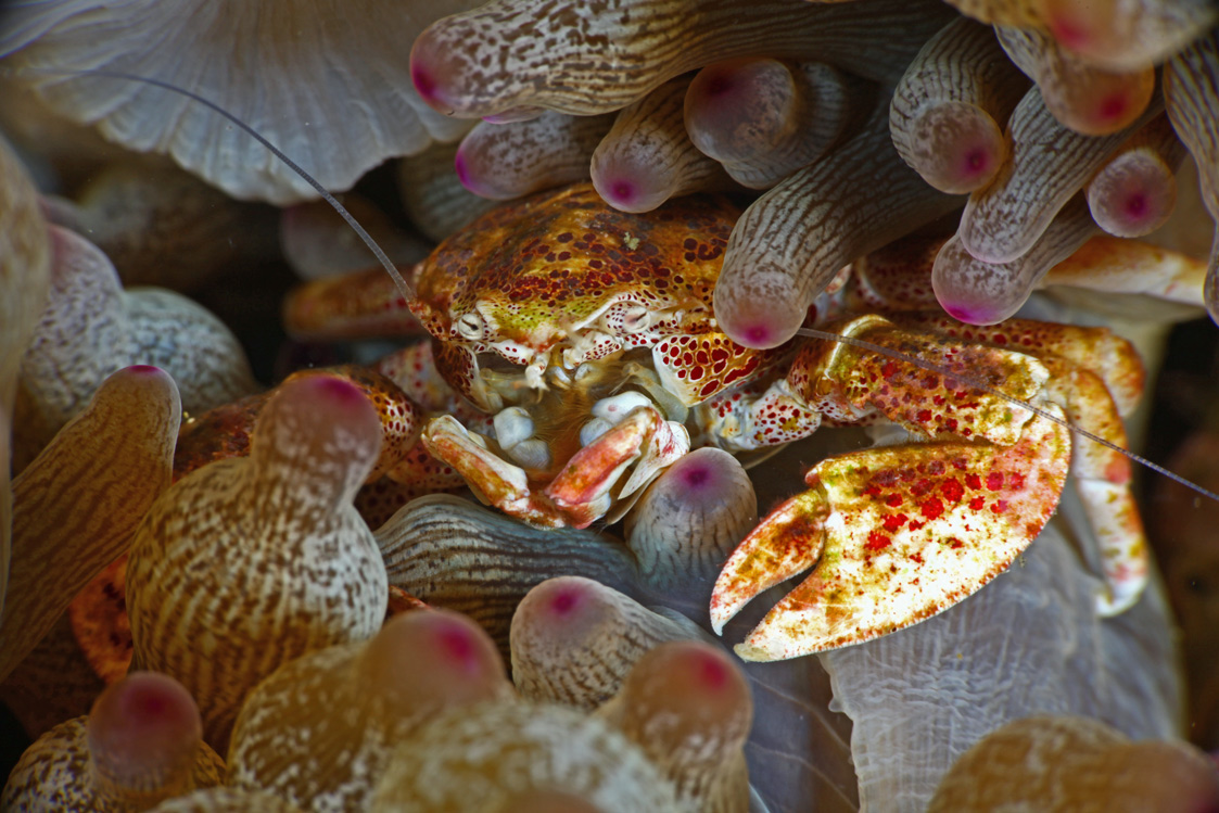 Porcelain-Crab-1.jpg