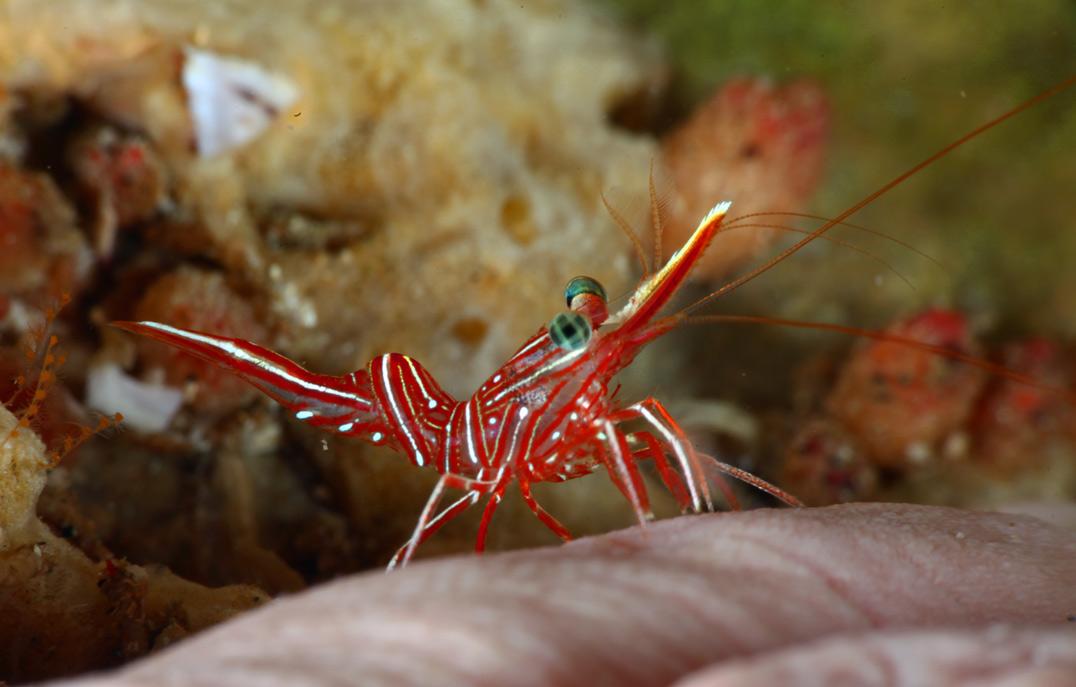 Durbon-Shrimp-1.jpg