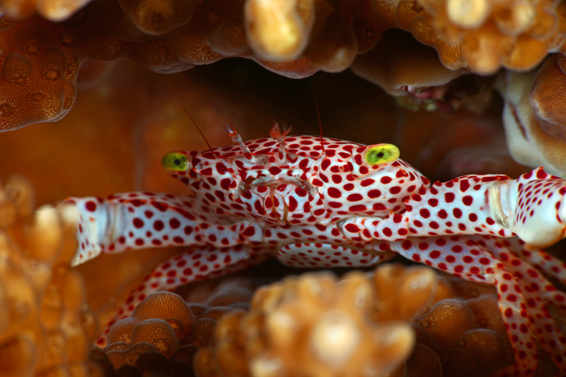Coral-Crab-1.jpg