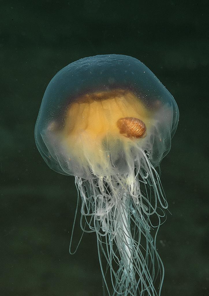marknthomas_jellyfish.jpg