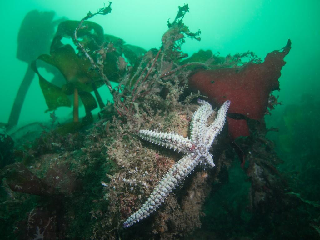 2011.10.02 1819 Penlee point dive#951 - Seastar and reef (Medium).jpg