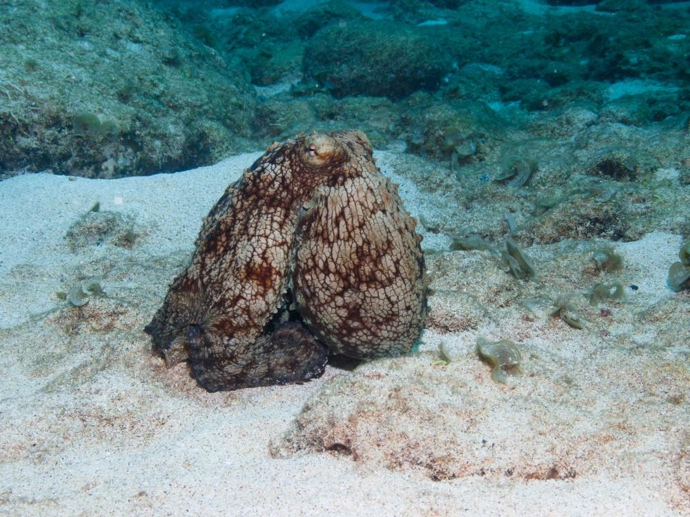 2012.04.29 5957 Ascension English Bay dive#952 - Octopus (Custom).jpg