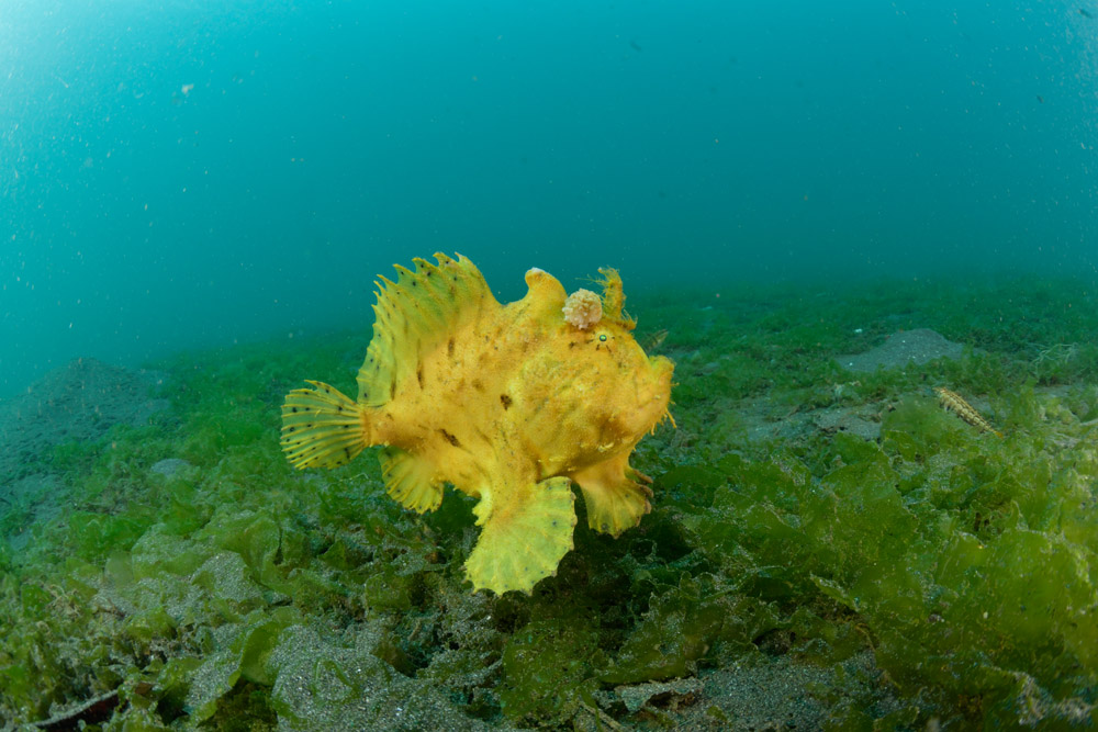 Secret Bay Frogfish #1b.jpg