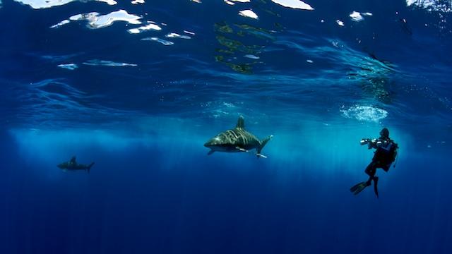 Oceanic_Whitetips_138.jpg