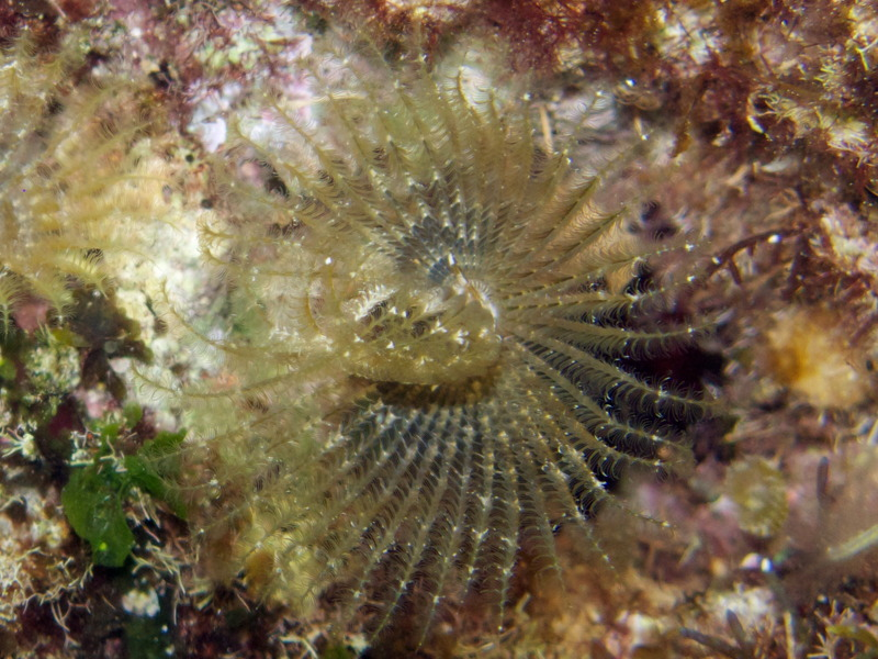 Featherduster_worm_cy_02.jpg