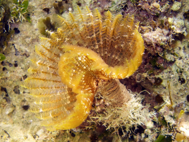 Featherduster_worm_cy_01.jpg