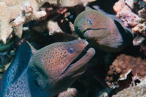 Sudan_2011_081_274_Umm_Garoush_Giant_Moray_eels.jpg