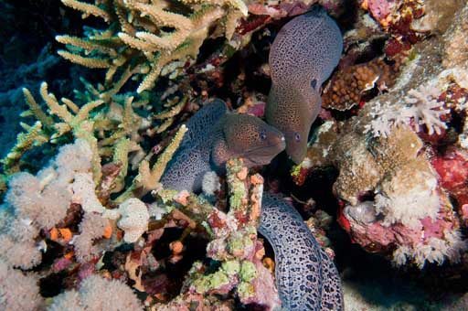 Sudan_2011_082_273_Umm_Garoush_Giant_Moray_eels.jpg