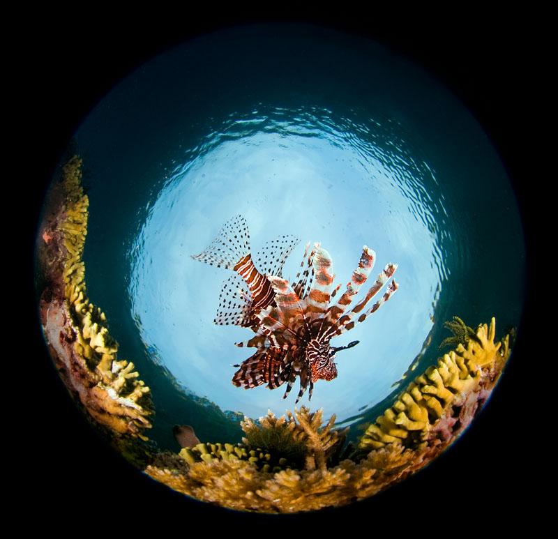 2009_Indonesia_1485_Raja_Ampat_Lionfish_c.jpg