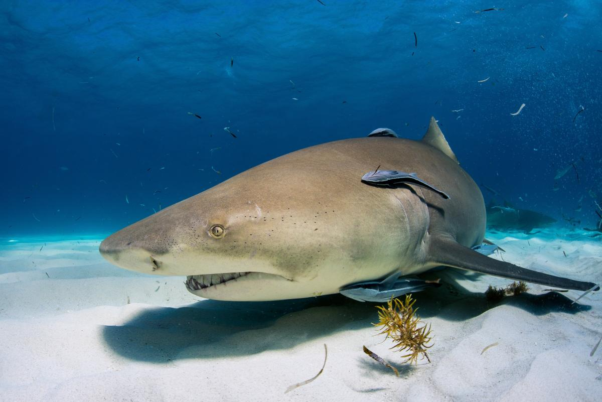 2013 Bahamas 58 418 Tiger Beach Lemon shark.jpg