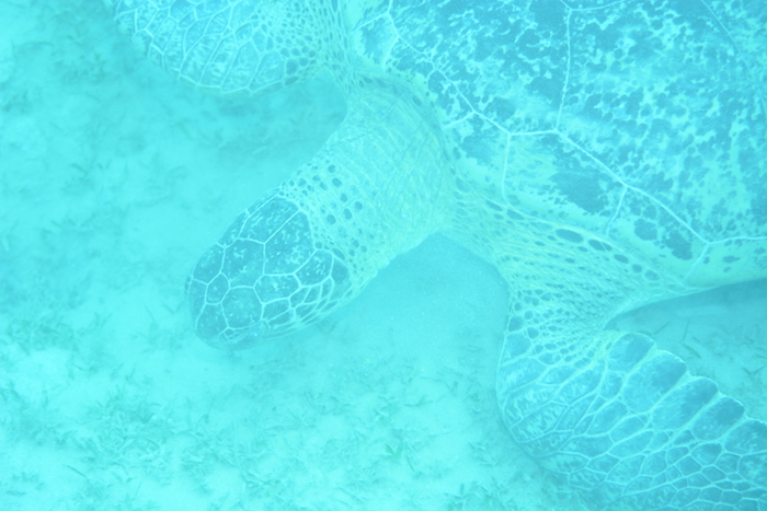 0941 Green turtle scaled 700.JPG