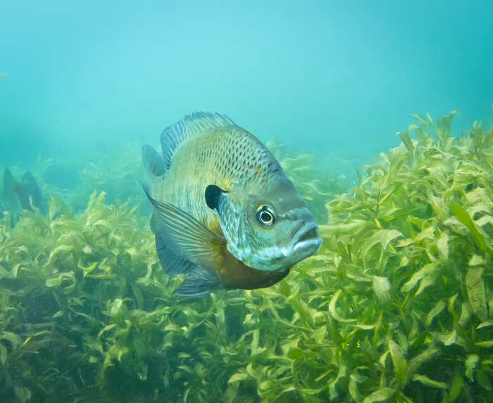 Bluegill_above_Weeds_Lake_at_Norman_Quarry.jpg
