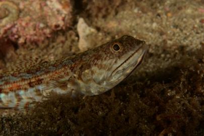 Lizard Triplefin Benny (WP).jpg
