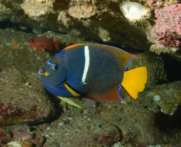 Cortez Angelfish 2 (WP).jpg
