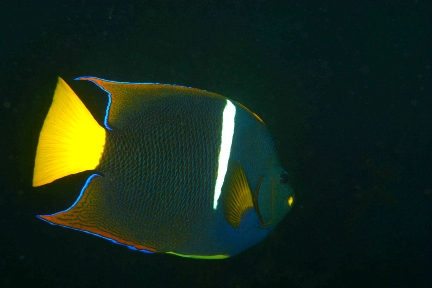 Cortez Angelfish (WP).jpg