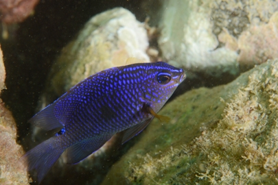 Juvenile Cortez Damselfish (WP).jpg