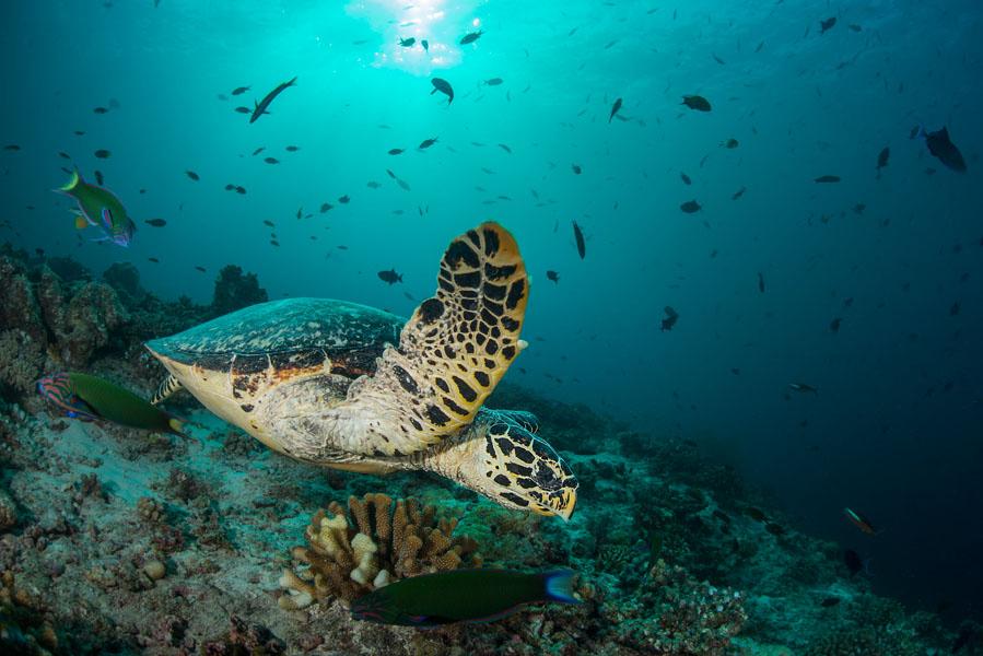 2013 Maldives 437 Maaya Thila hawksbill turtle.jpg