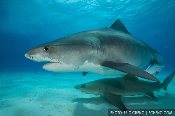 echeng_sharks_05.JPG
