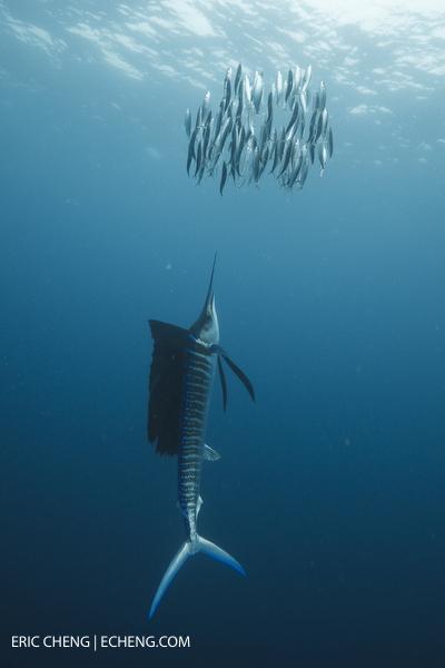 Echeng_sailfish_02.JPG