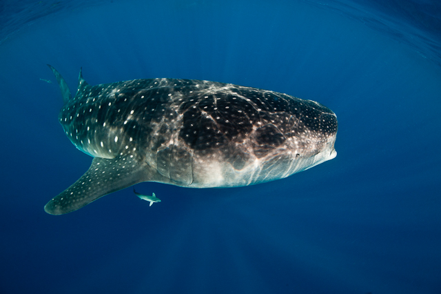 2010_8_Mexico___Isla_Mujeres___Whale_sharks_2427.jpg