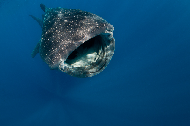 2010_8_Mexico___Isla_Mujeres___Whale_sharks_2417.jpg