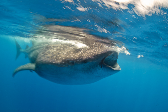 2010_8_Mexico___Isla_Mujeres___Whale_sharks_1901.jpg