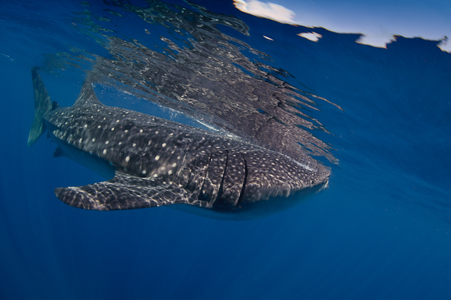 2010_8_Mexico___Isla_Mujeres___Whale_sharks_195.jpg