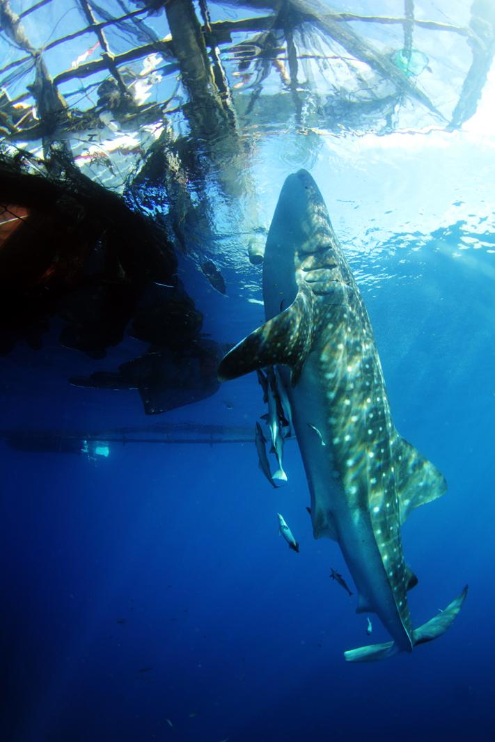 Whale Shark 3 EDT (Copyright Ben Jackson) 72DPI.jpg