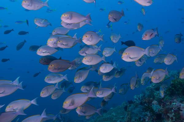Surgeonfish school.jpg