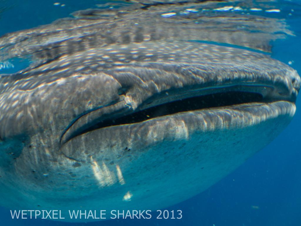 SH_whalesharks13-0117.jpg