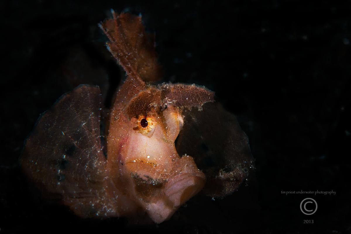 2013 Lembeh 24 796 Pantai Parigi Rhinopias eschmeyeri Paddle-flap scorpionfish.jpg