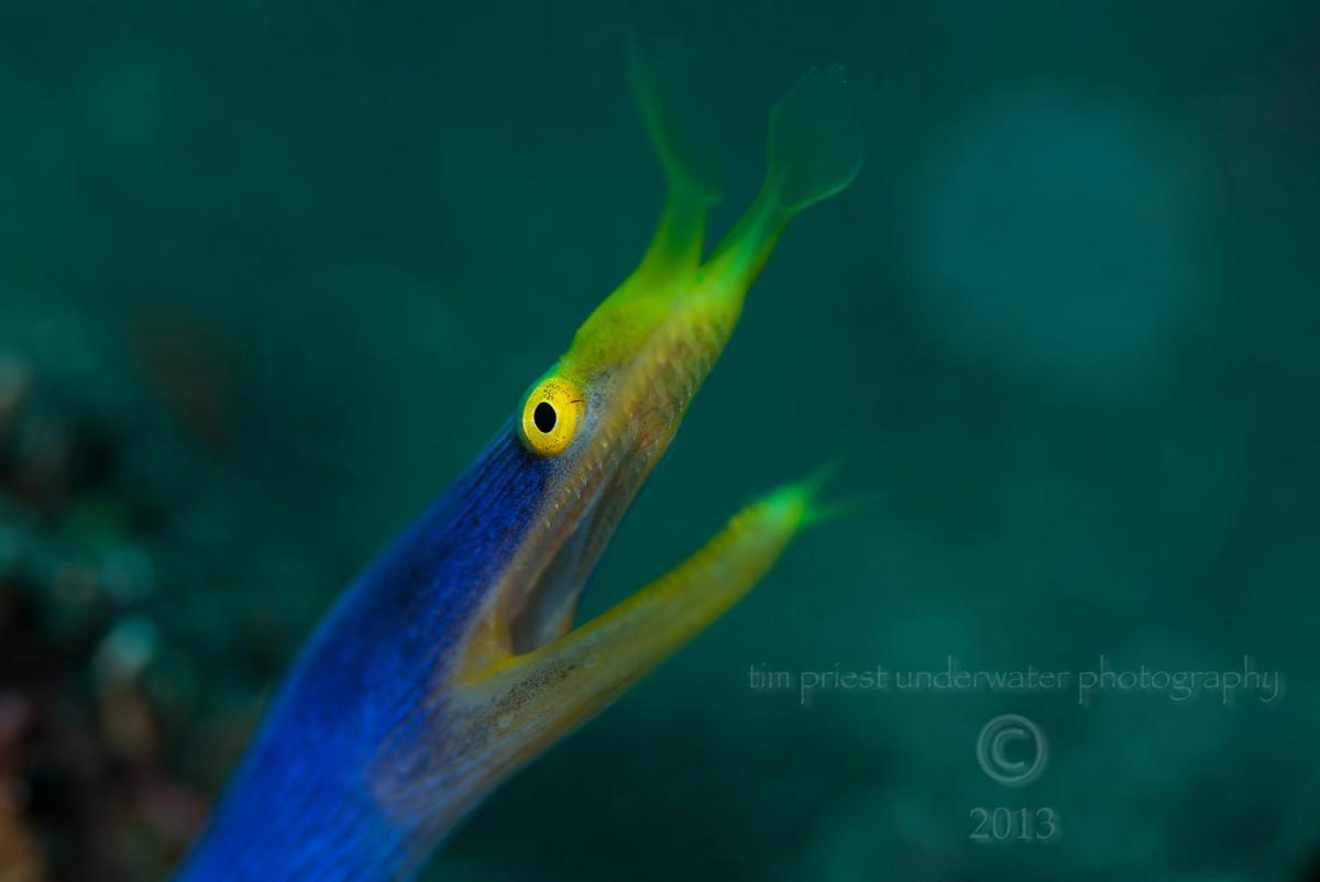 Bali 2012 49 0555 Tulamben Ribbon eel.jpg