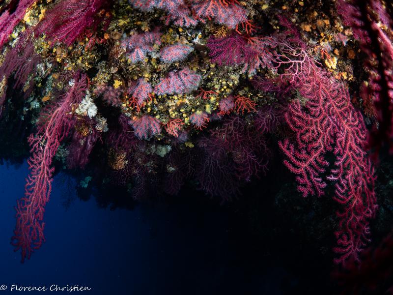 Imperial du milieu  gorgones et corail rouge w.jpg