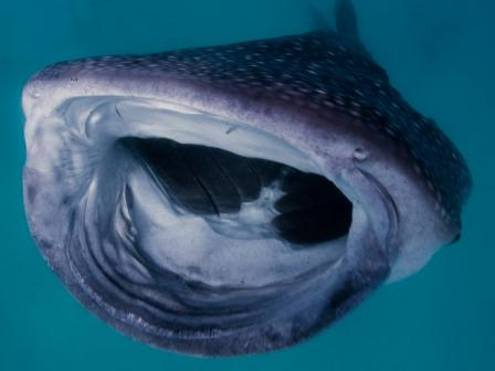 whaleshark_s.jpg
