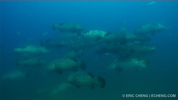 echeng_groupers.jpg