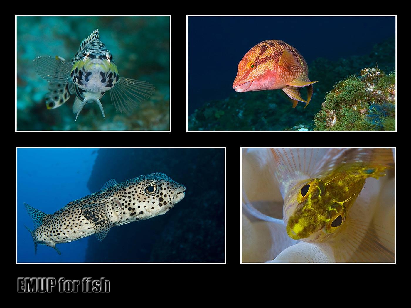 EMUP_4_fish_final.jpg