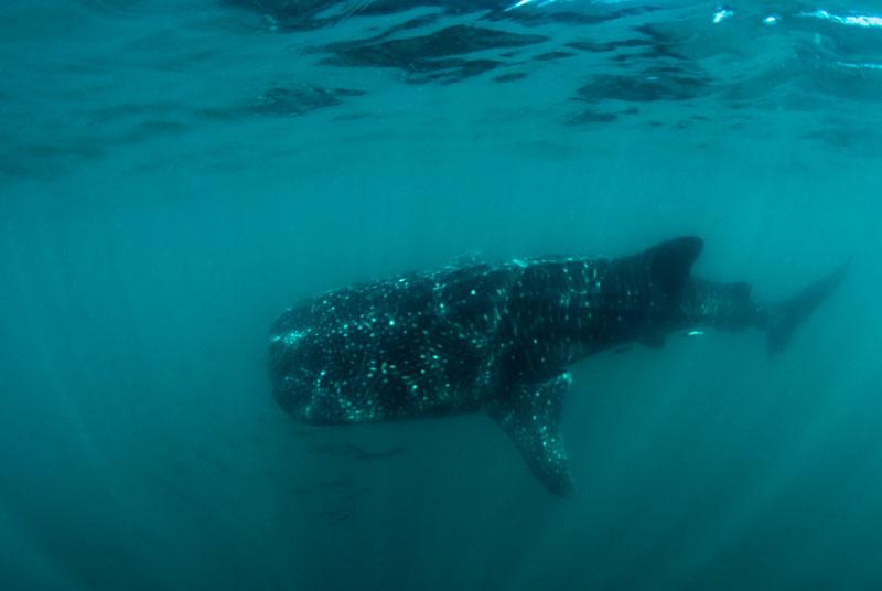 2010_Baja_California_117_832_La_Paz_whale_shark.jpg