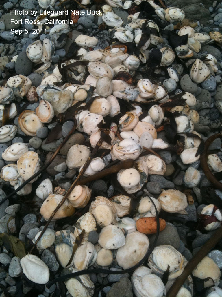 abalone_mortality_nate_buck_3.jpg