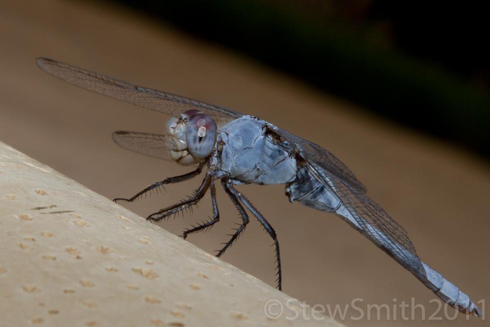 dragonfly1_3.jpg