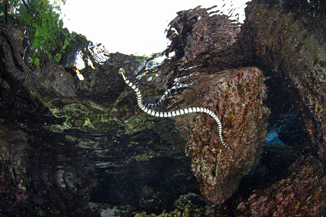 Banded-Sea-Krait.jpg