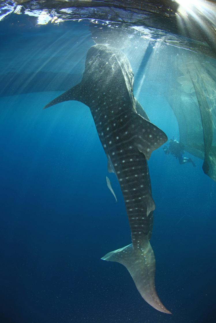 Whale-Shark-14.jpg