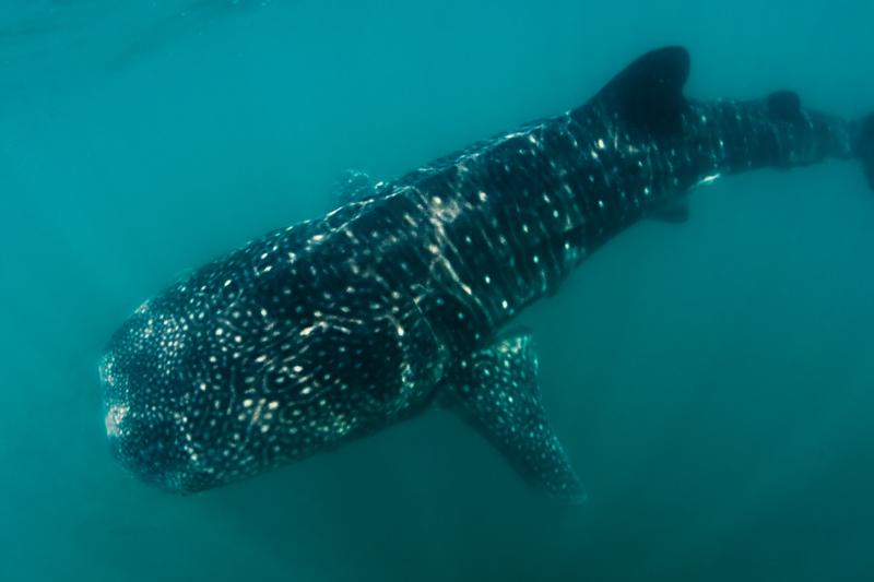 2010 Baja California 836 La Paz whale shark.jpg