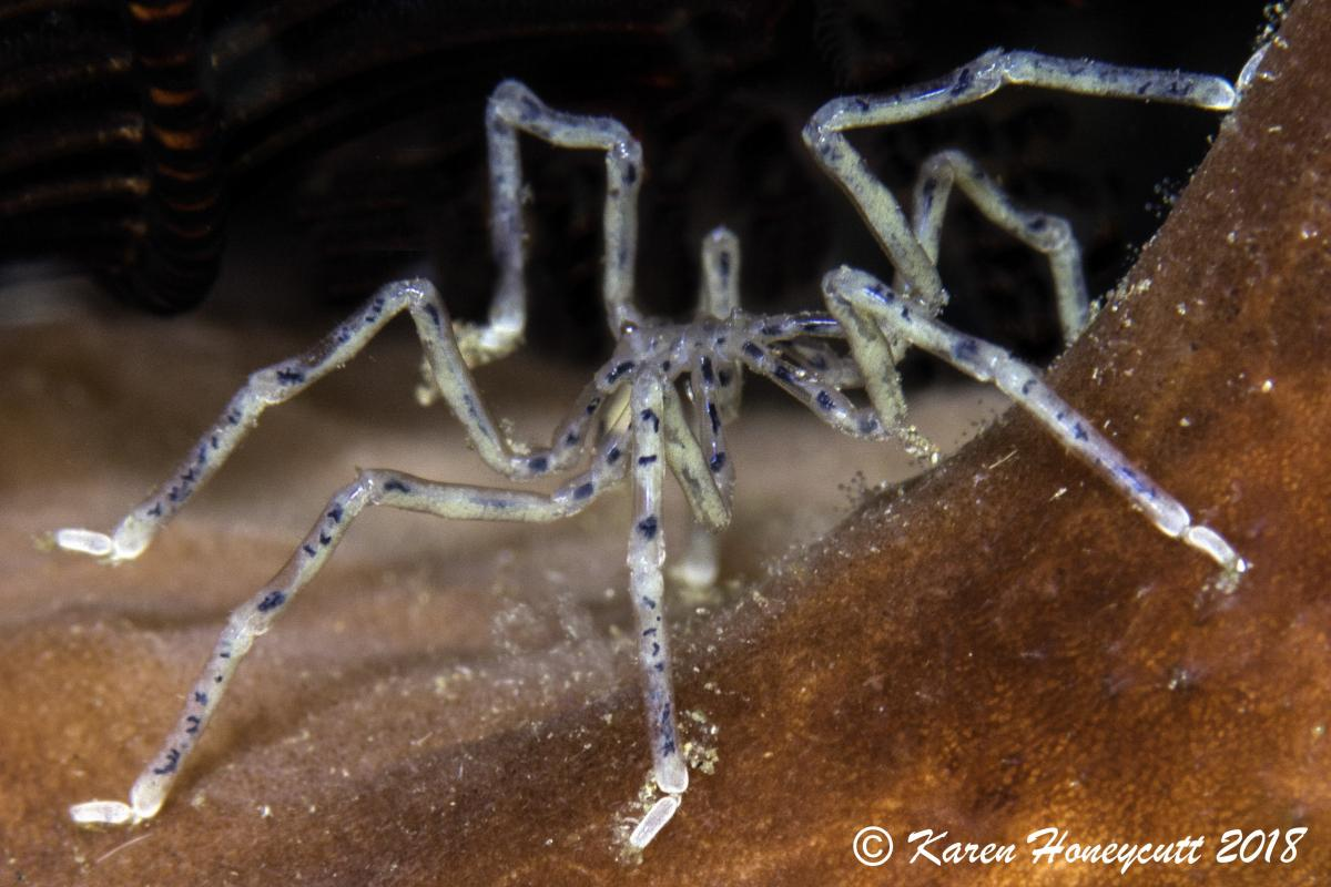 Pycnogonida (Sea Spider) - Sabayor, North Komodo, Indonesia-1.jpg