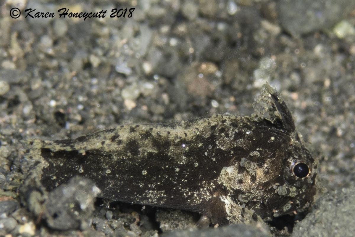 Juvenile Scorpionfish - Pulau Sangeang, Komodo, Indonesia.jpg
