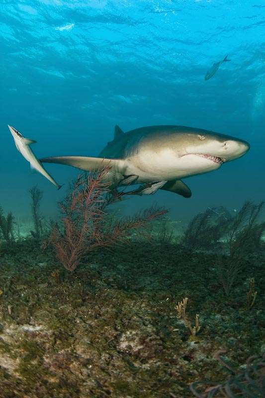 Shear_Water_2010_025_Tiger_Beach_lemon_sharks.jpg