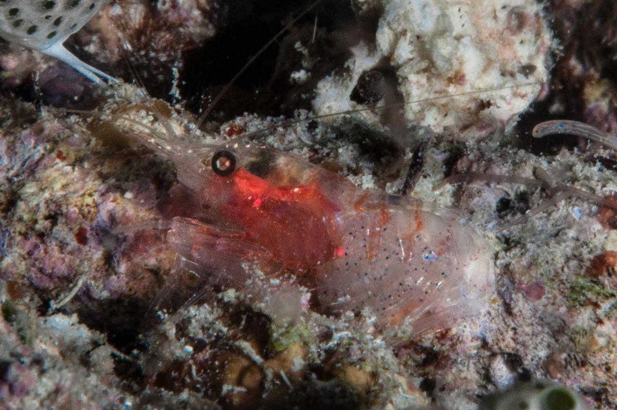 Unidentified Shrimp - Triton Bay, Indonesia.jpg