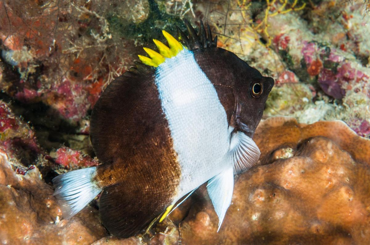 Unidentified Damselfish - Maldives.jpg