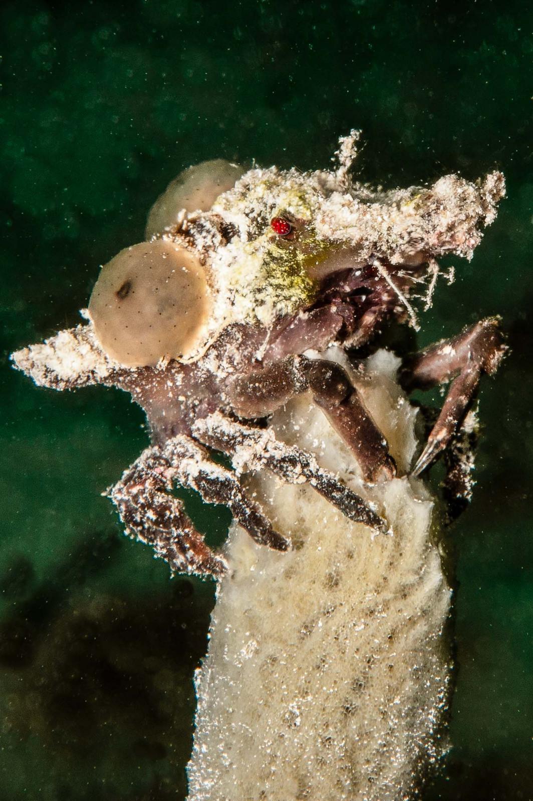 Unidentified Crab - Utila, Honduras.jpg
